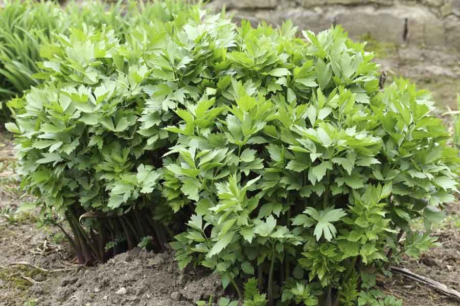 любисток, лікувальні властивості любистка, трава любистк