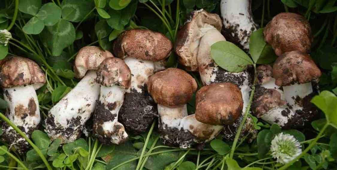 агарнік, гриб агарнік, властивості агарика,