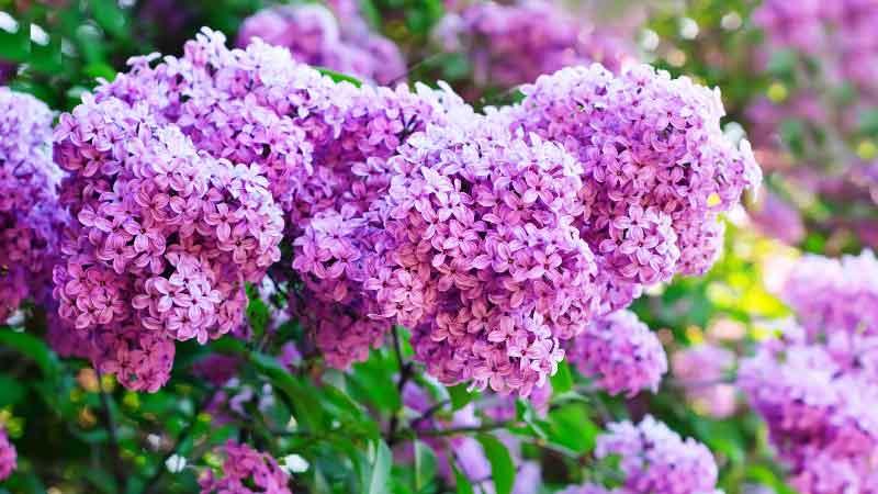 Квіти бузку, сирень, цветы сирени, лечебные свойства сирени