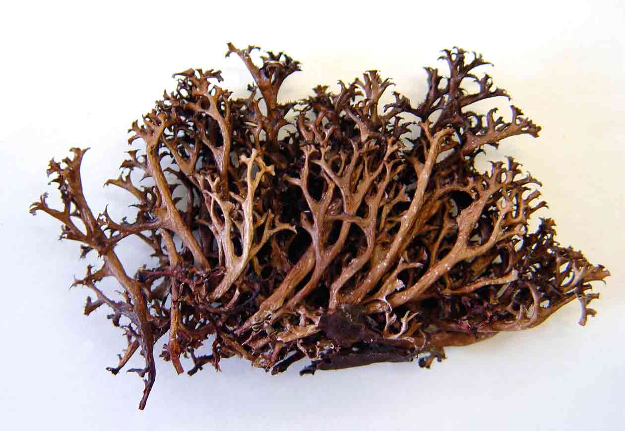 цетрарія, цетрария, исландский мох, свойства цетрарии