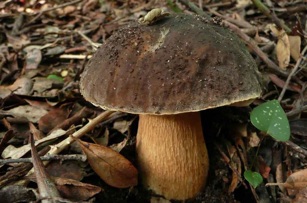білий гриб, белый гриб, лечение белым грибом, свойства белого гриба, властивості білих грибів