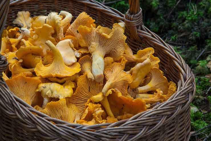 грибы, свойства грибов, гриб шиитаке, гриб лисичка