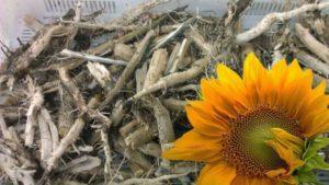 корень подсолнуха, применения корня подсолнуха, лечебные свойства корня подсолнуха,